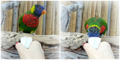 Collage Lorikeet