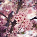 Pink Blossoms by dj murdok photos