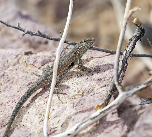 Lizard 16_7D2_130316