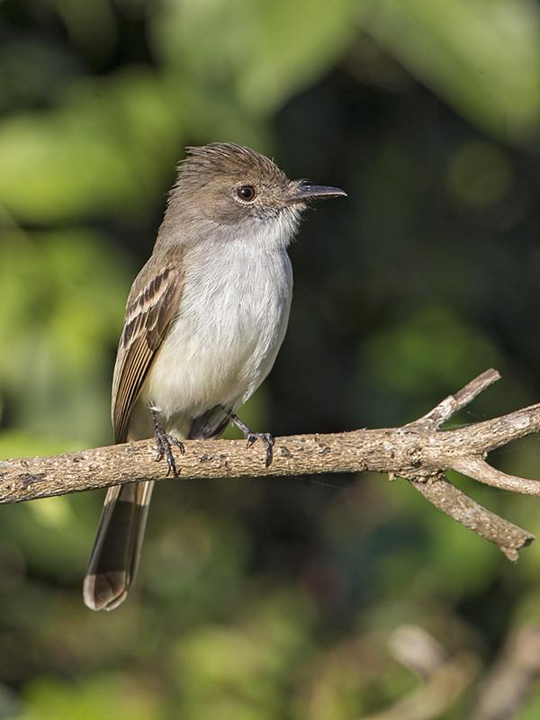 LaSagra's Flycatcher  Cuba