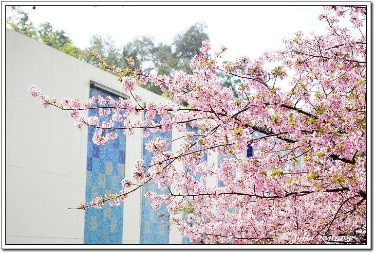 麗池公園河津櫻 (10)