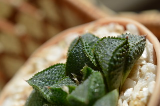 DSC_1230 Haworthia koelmaniorum McMurtryii GM272 Groblersdal, west of Loskopdam