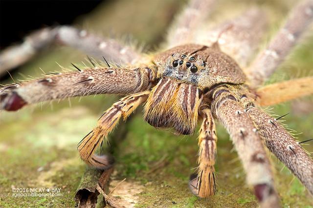 Huntsman spider (Heteropoda sp.) - DSC_5920