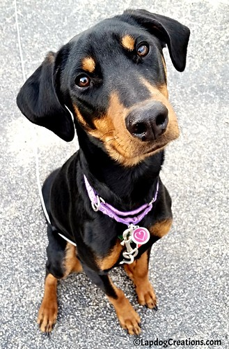 doberman puppy doberman mix rescued dog adopt don't shop #LapdogCreations ©LapdogCreations