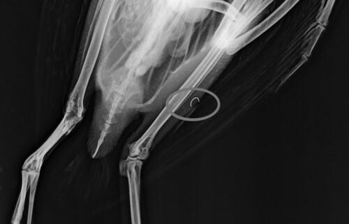 Radiografia del colimbo grande