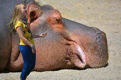 A Hip Hippo