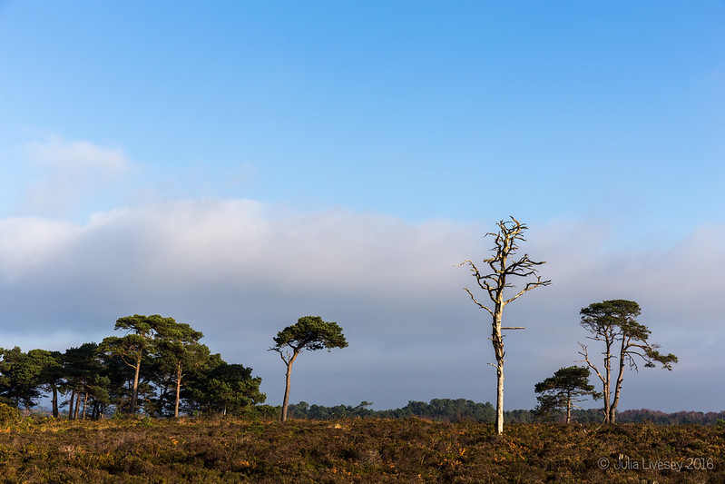 Trees on the heath