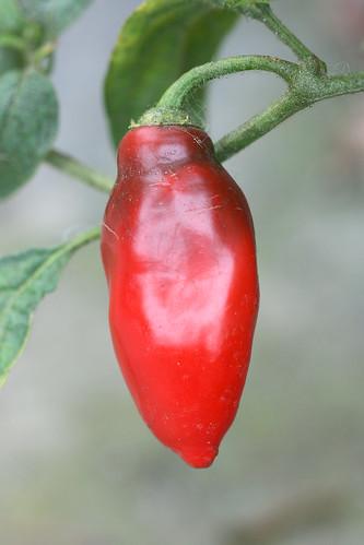 capiscum pubescens