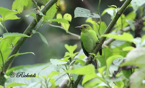 ngc greenhoneycreeper chlorophanesspiza guitguitémeraude coth5 birdofcostarica chlorophanesspiz