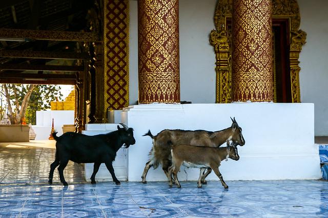Goats walking in the temple, Luang Prabang, laos ルアンパバーン、寺院を散歩するヤギ