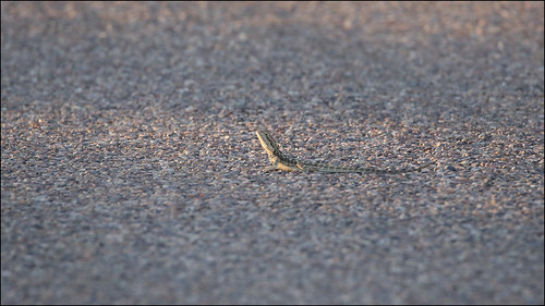 Central Bearded Dragon (Pogona vitticeps) youngster on road