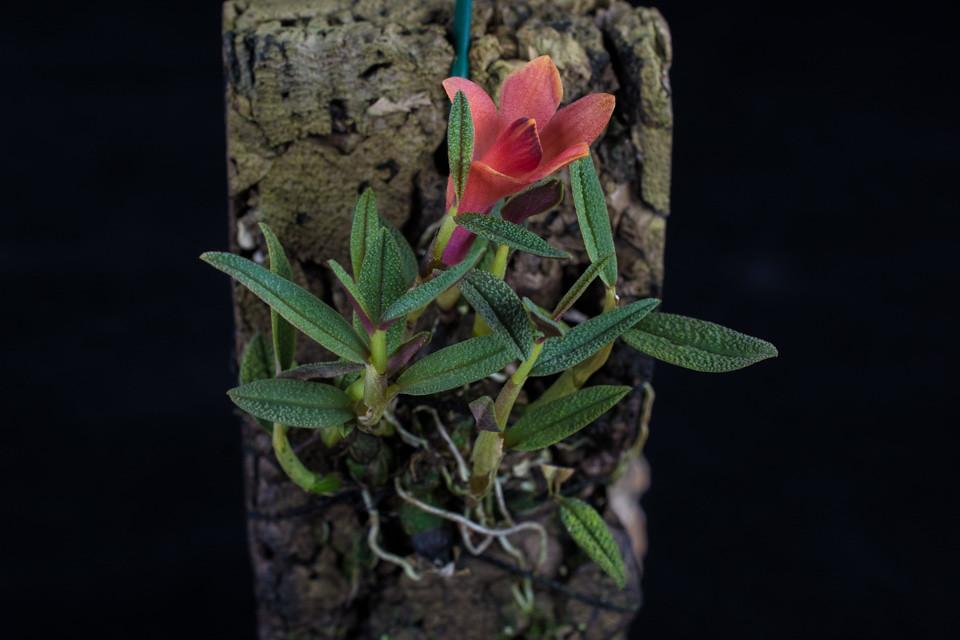 Miniatur-Orchideen Teil 3 - Seite 4 24843907052_42e66140db_b