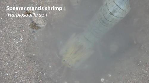 Spearer mantis shrimp (Harpiosquilla sp.)