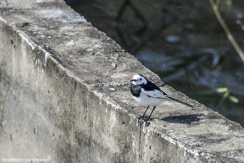 白鶺鴒 Motacilla alba@台南公園