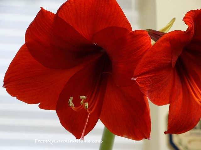 Amaryllis 2016 ~ From My Carolina Home