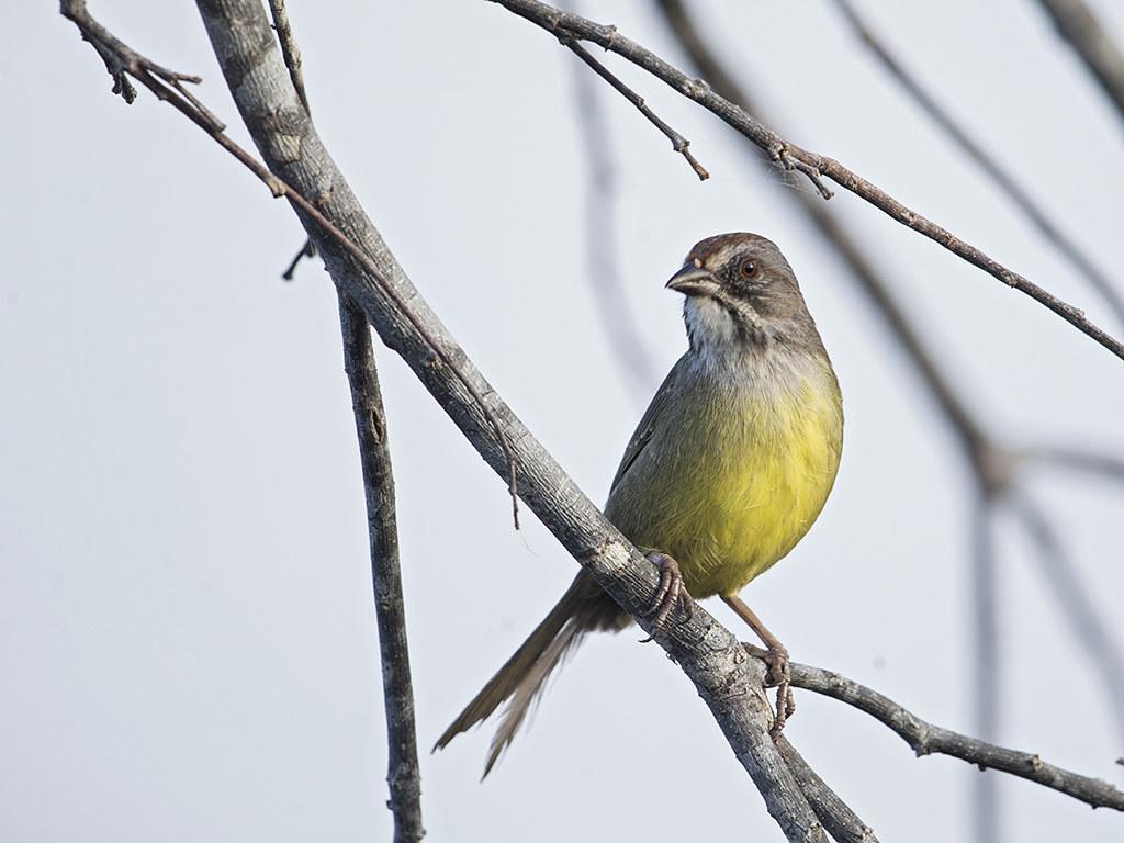 Zapata Sparrow  endemic to Cuba