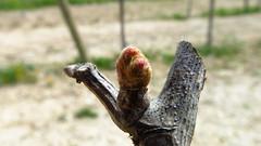 shiraz_cyprus_fikardos_organic_vineyard