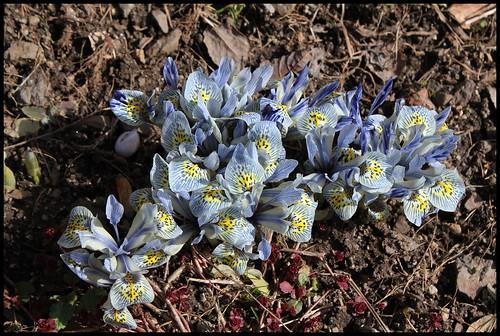 Iris winogradowii x histrioides 'Katharine Hodgkin'  25638428771_19305dda2a