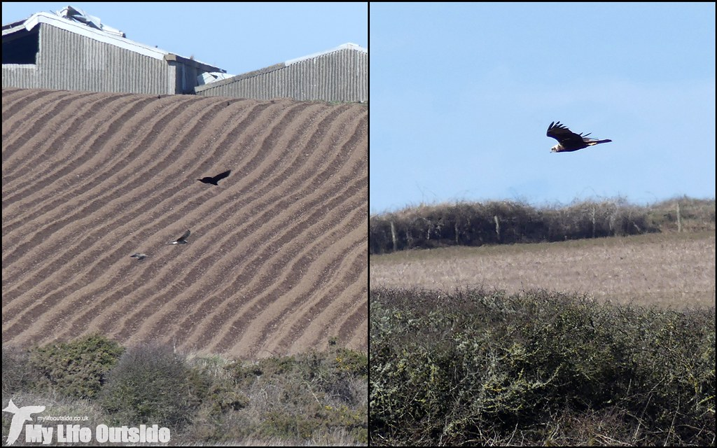 Hen Harrier and Marsh Harrier, Marloes Mere