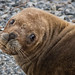 Southern Sea Lion portrait by alicecahill