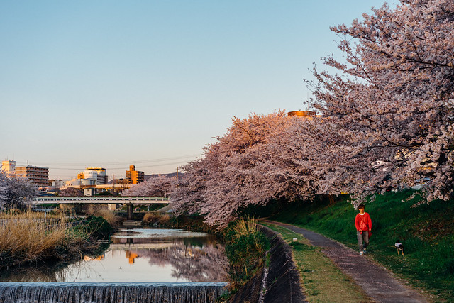 CherryBlossoms_301