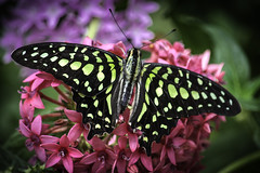 Tailed Jay with Open Wings