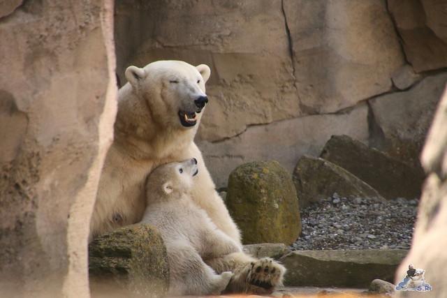 Eisbär Lili im Zoo am Bremerhaven 10.04.2016 Teil 2  086