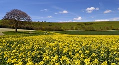Springtime in the Meon Valley tree (MAG)