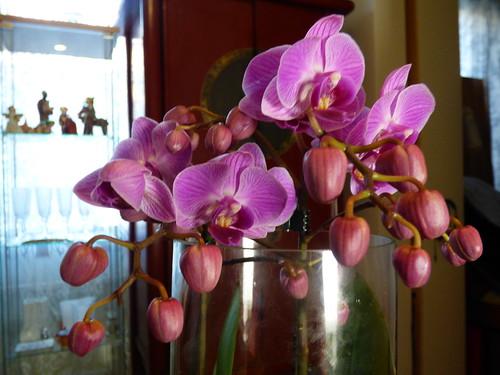 uusi orkidea