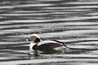 Long-tailed Duck (male) - Clangula hyemalis