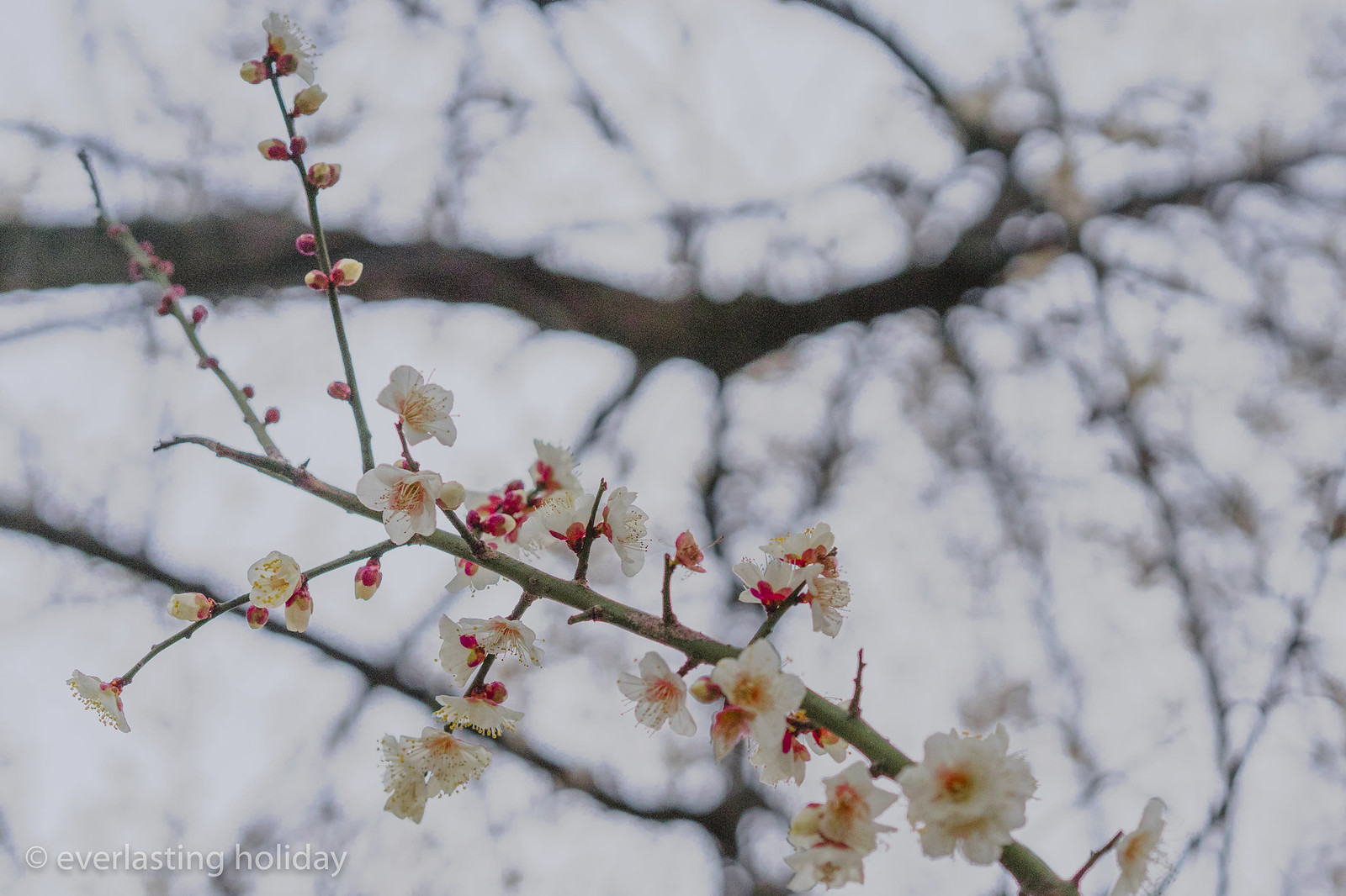 今夜は雪?寒桜