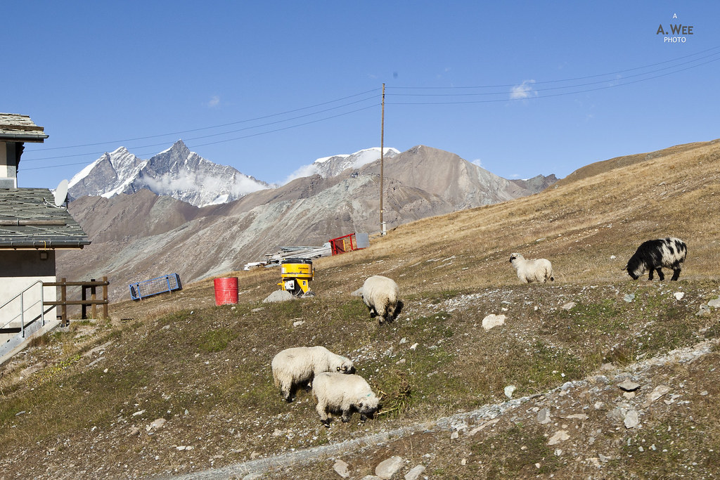 Lambs at Riffelberg