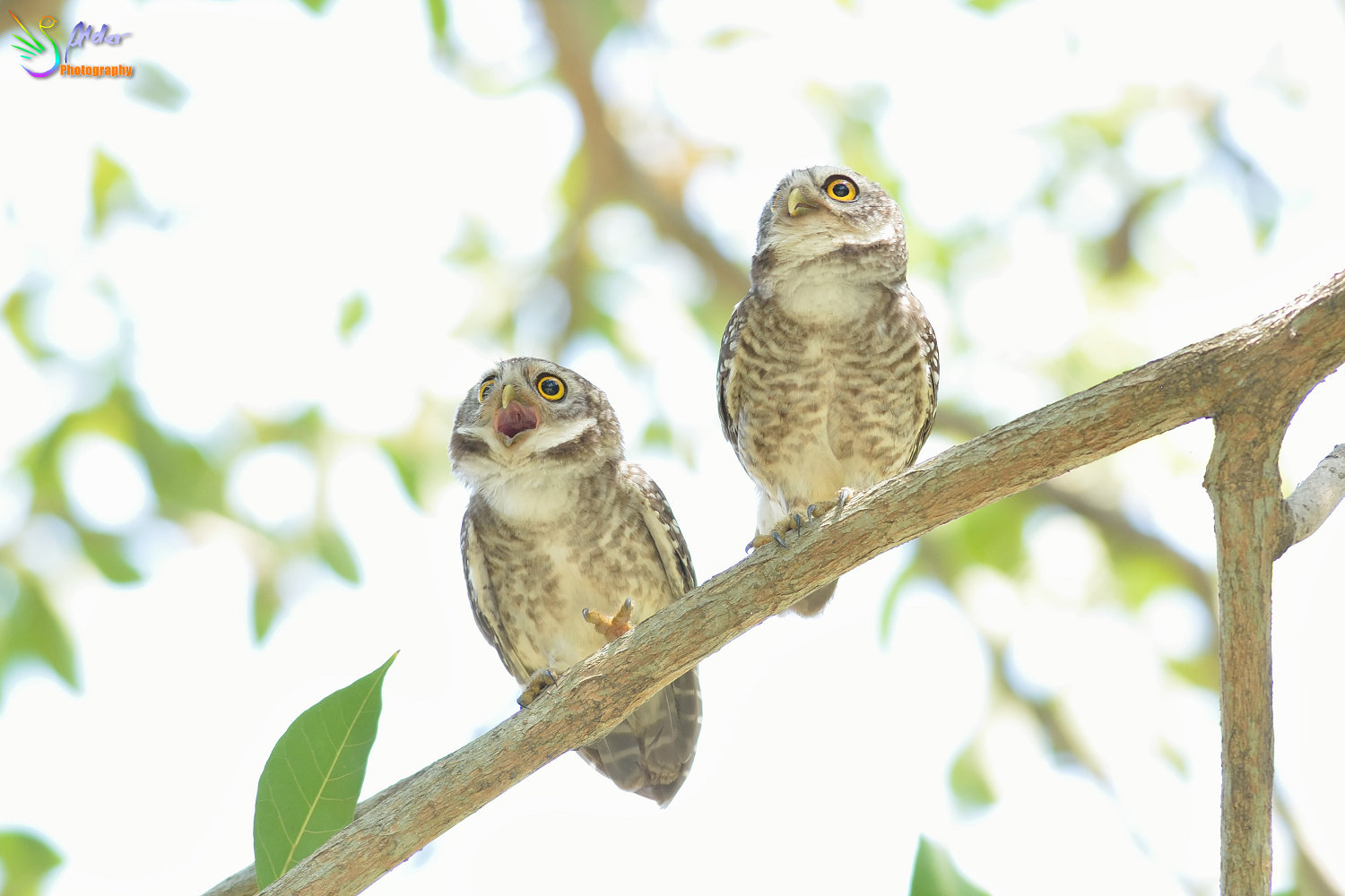 Spotted_Owlet_2798