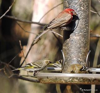Pine Siskins_N8330-001