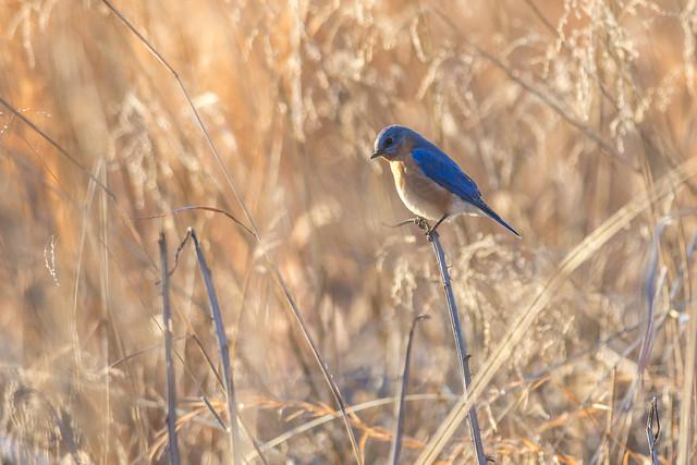 Bluebird in Winter's Field