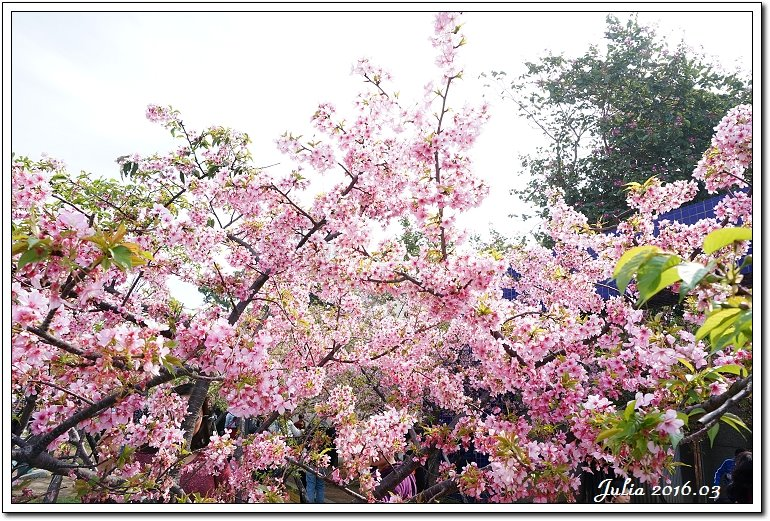 麗池公園河津櫻 (13)