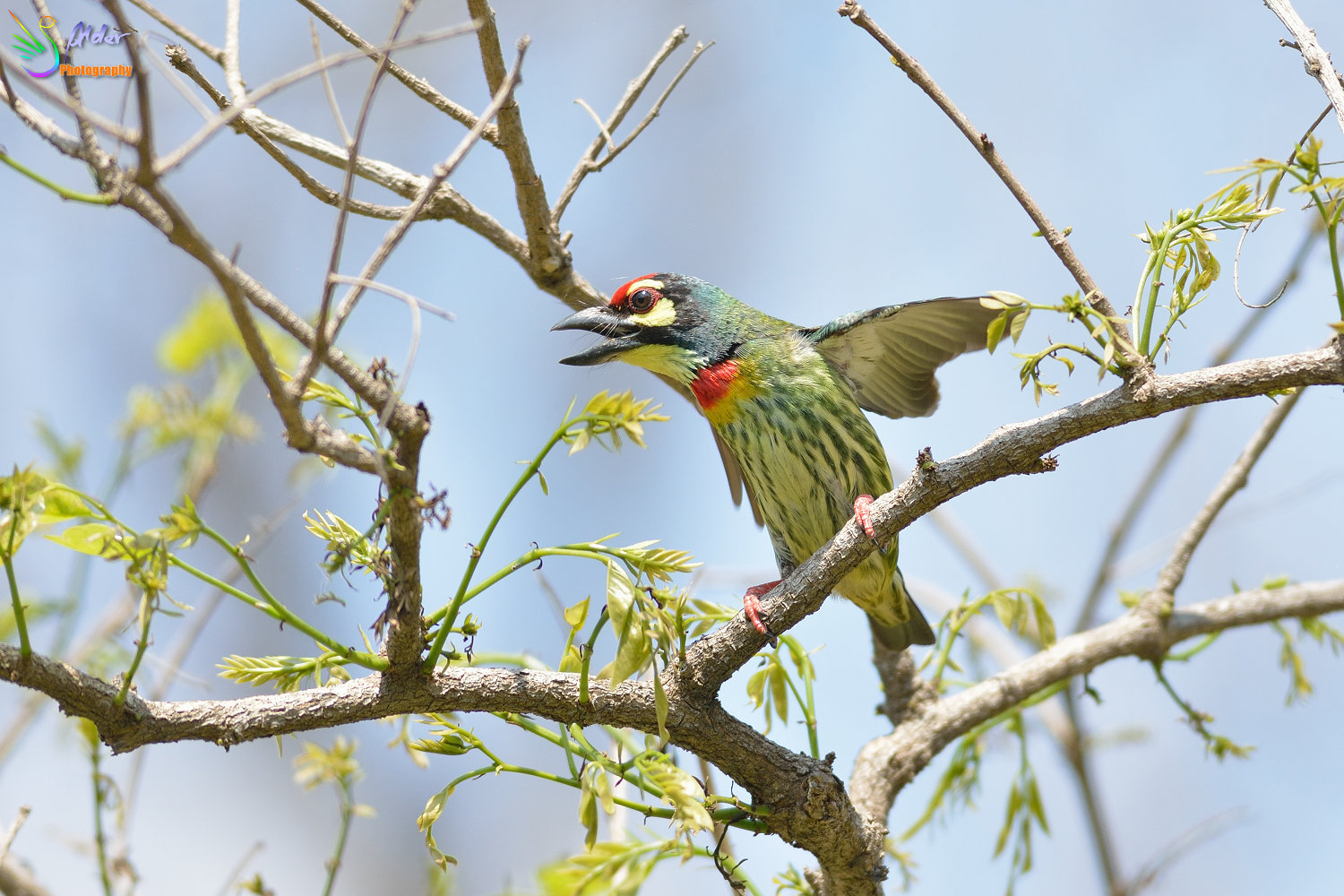 Coppersmith_Barbet_3089