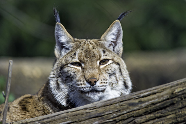 Lynx behind the log