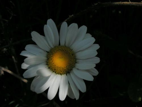 20080511 20663 0901 Jakobus Margarite Blume weiß gelb