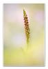 Aceras anthropophorum...