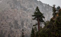 Cliff Sequoia