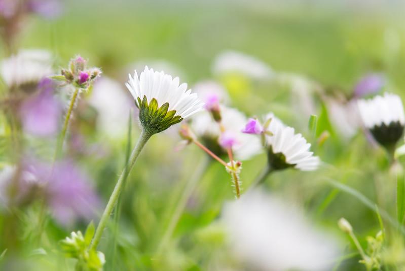 wiesenbluemchen