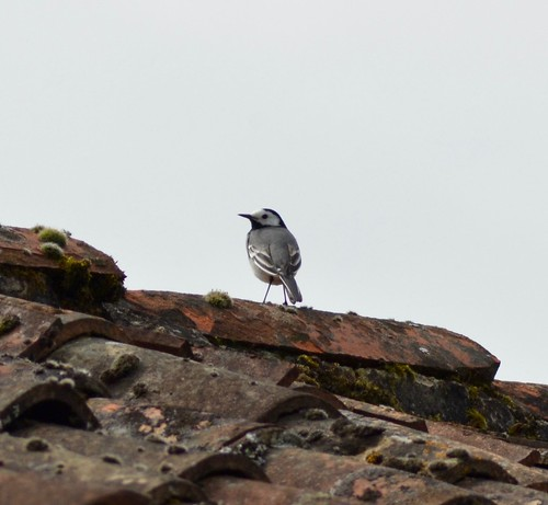 White / Pied Wagtail
