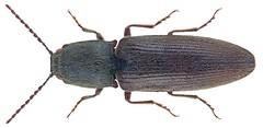 Athous haemorrhoidalis (Fabricius, 1801)