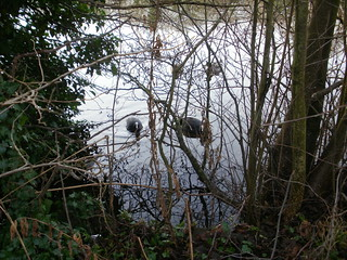 Epping Forest cute coots