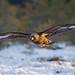 Golden Eagle (Zsombor Karolyi)