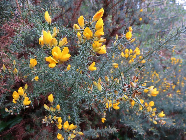 common gorse