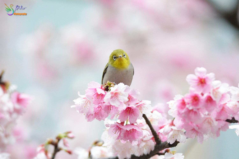 Sakura_White-eye_7463