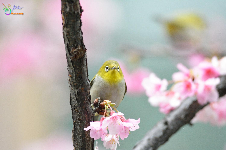 Sakura_White-eye_8241
