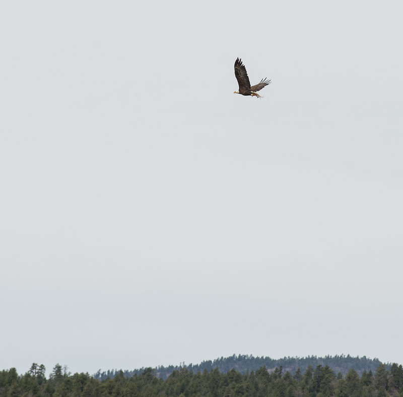 Bald Eagle with Nest Material 1